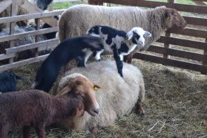 mal ein anderes Trampolin- die Schafe