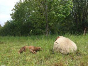 Schafe ruhen auf der Weide