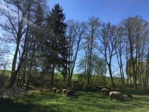 Schafe gehören auf die Weide- davon sind wir überzeugt