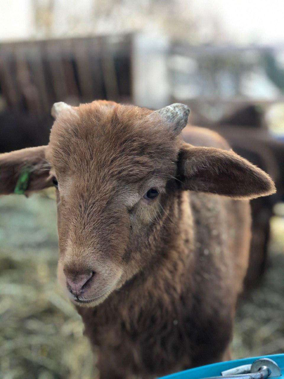 Lamm aus 2019